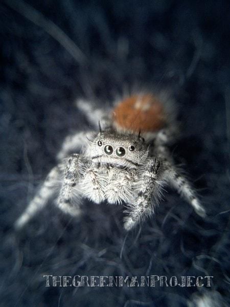 macro jumping spider Phidippus Otiosus