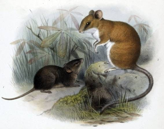 Alston's brown mouse, singing mice of Costa Rica