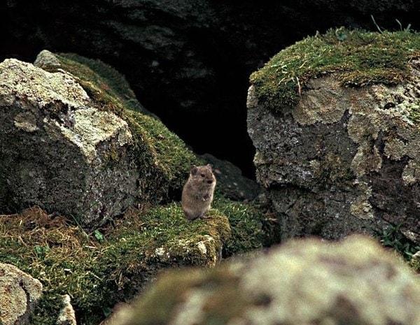Singing vole animal microtus miurus