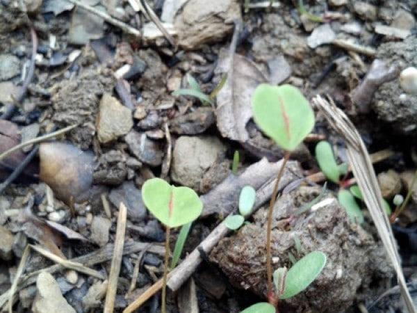 Alfalfa seedlings in the garden - The Greenman Project