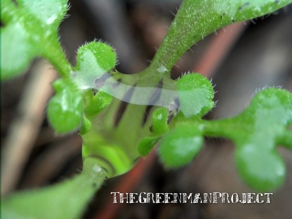 Seedling water droplet - The Greenman Project