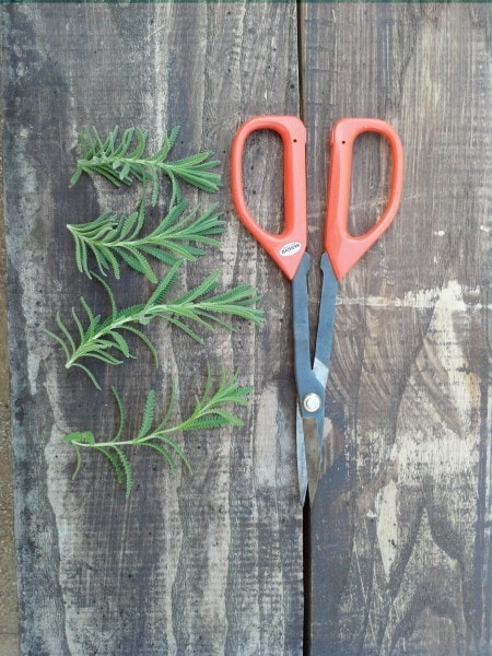 Lavender Cuttings example