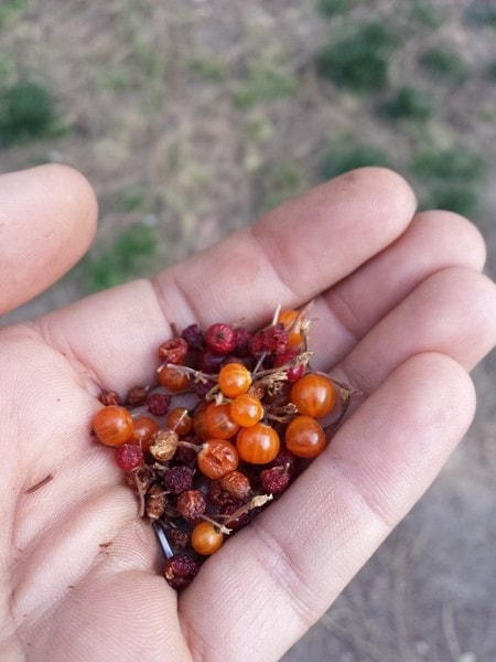 Water saving technique - Native Currant Berries